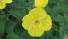Энотера (Oenothera biennis)
