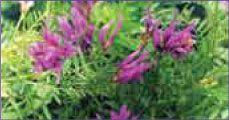 Астрагал (Astragalus membranaceus)